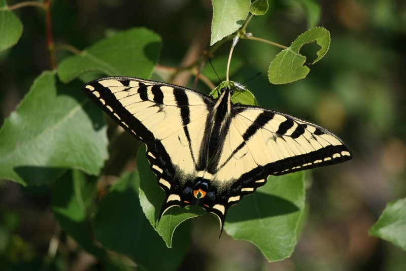 Western tiger swallowtail (Papilio rutulus), Mayberry Park. June 30, 2015.