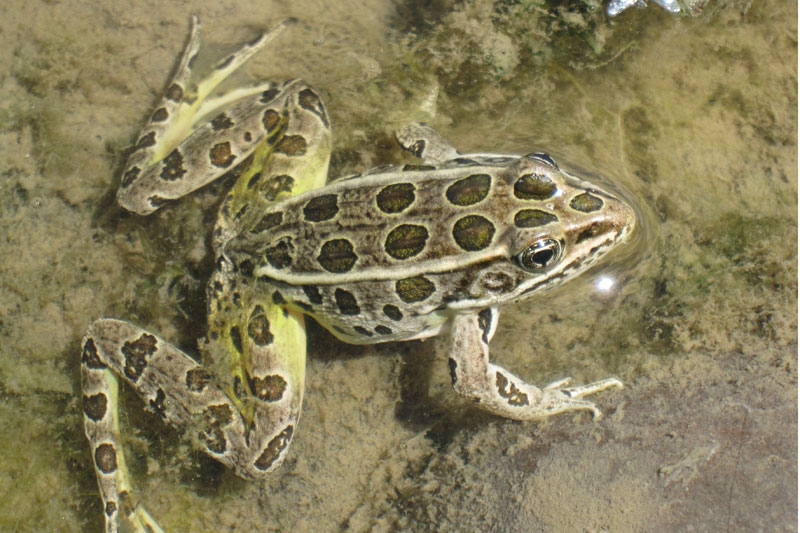 Northern leopard frog, lower Truckee River. Photo: Kelsey McCutcheon.