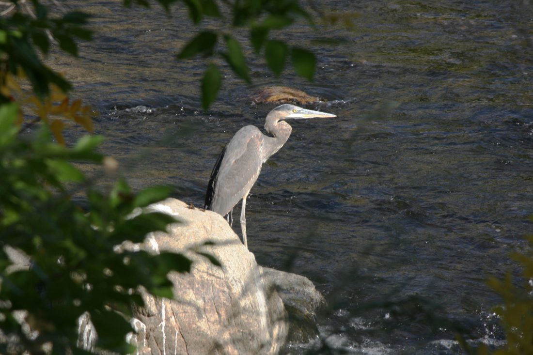 Great Blue Heron, Idlewild Park, Reno. September 2016.
