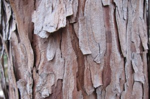 The bark of incense-cedar (Calocedrus decurrens) is flaky.
