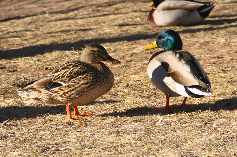 Female and male Mallards (Anas platyrhynchos), Truckee River near Riverside Drive, Reno. Jan 2015. Photo: K. McCutcheon.