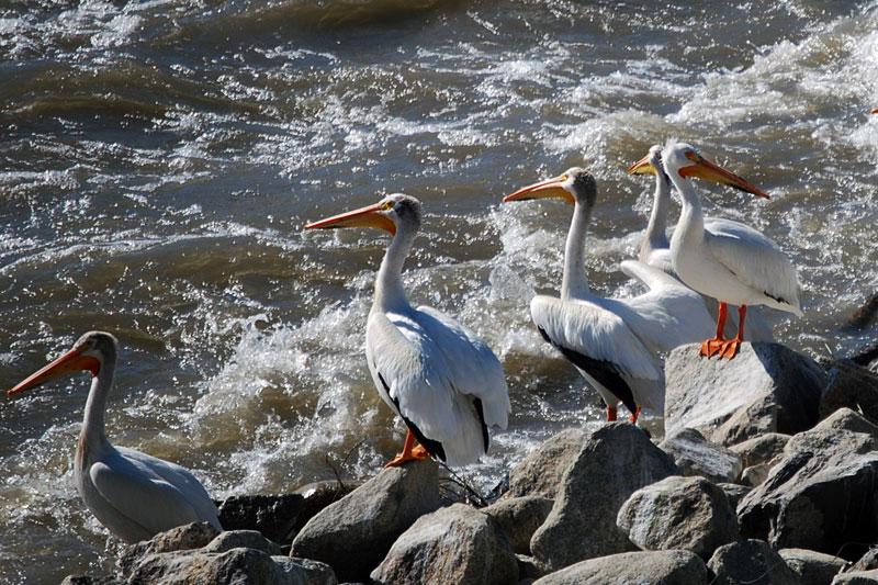 American White Pelicans (Pelecanus erythrorhynchos) below Marble Bluff Dam, lower Truckee River. Photo: Kelsey McCutcheon.