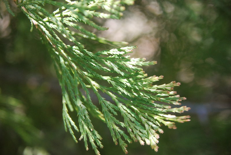 Incense Cedar (Calocedrus decurrens). Photo: Kelsey McCutcheon.