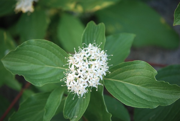Redosier dogwood (Cornus sericea), Truckee River, Reno. Photo: K.McCutcheon.