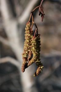 Thinleaf alder (Alnus incana ssp. tenuifolia), Truckee River. Feb 2015.