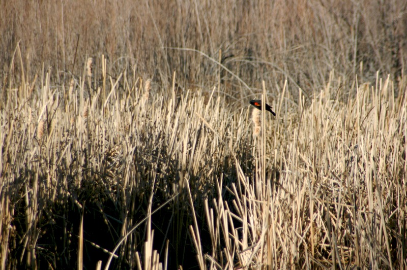 Red-winged blackbirds sing from the tops of cattails, Oxbow Pond, Feb. 26, 2015.