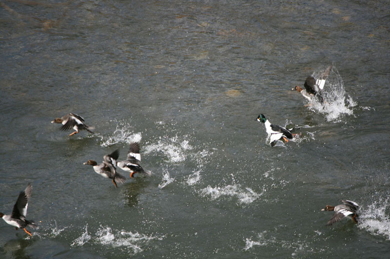 A flock of Common Goldeneye, Mayberry Park, Mar 15, 2015.