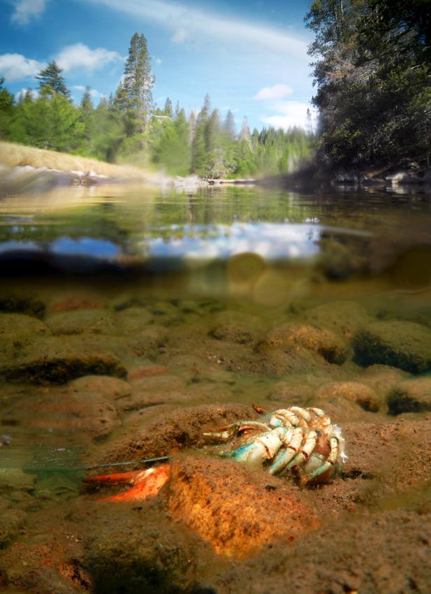 A Signal Crayfish (Pacifastacus leniusculus) carcass beneath the water on Mar. 17, 2015. Photo: Joanna Rutkowski.