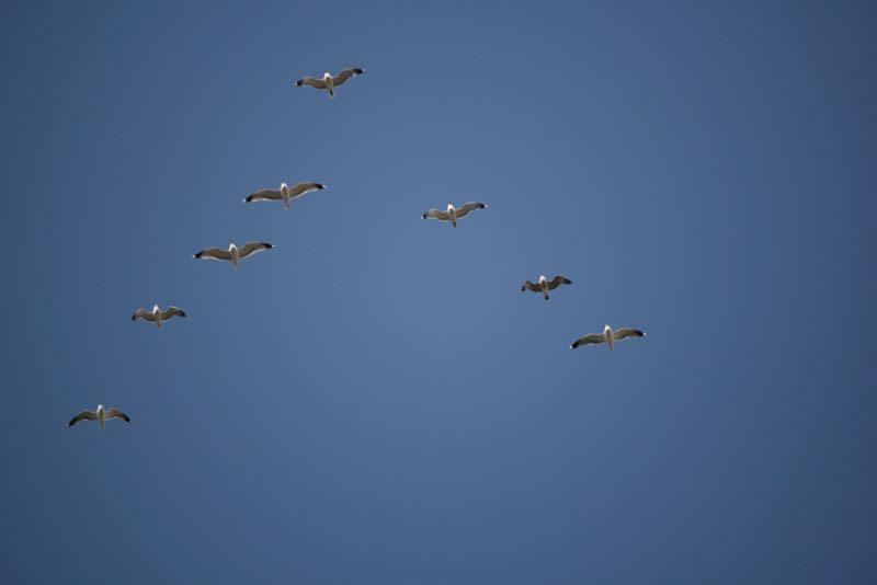 A flock of gulls (California gulls?) heads east over Lockwood Park, Mar 7, 2015.