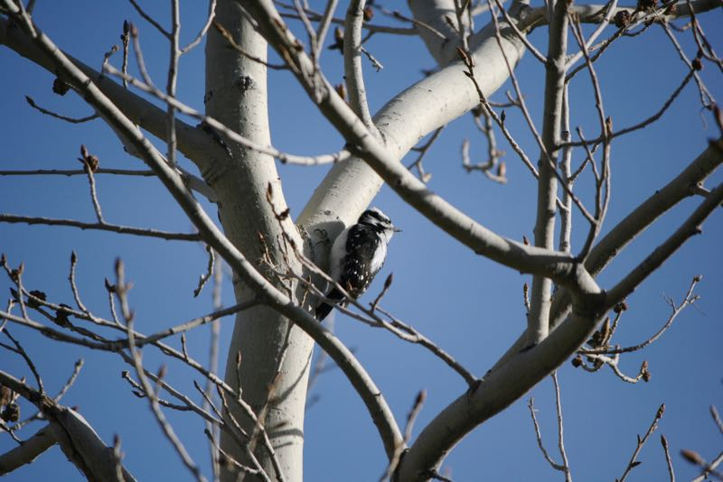 A downy woodpecker (Picoides pubescens) in Lockwood Park, Mar. 7, 2015.