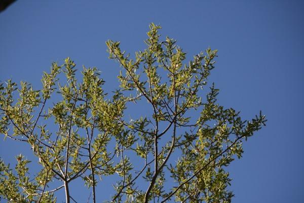 Red willow (Salix laevigata) flowering in downtown Reno. Mar 26, 2015.