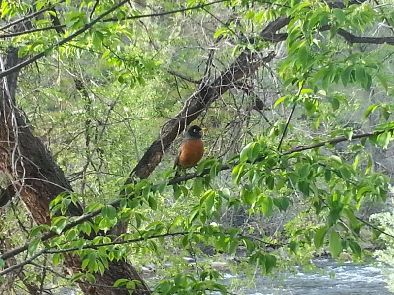 American Robin, Riverwalk, Reno. April 22, 2015. Photo: Dylan Kuhn.
