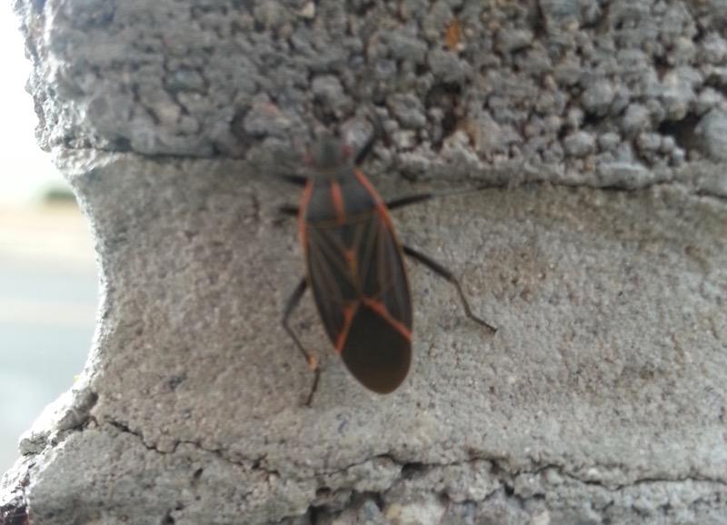Western Boxelder Bug (Boisea rubrolineata), Riverwalk, Reno. April 22, 2015. Photo: Dylan Kuhn.