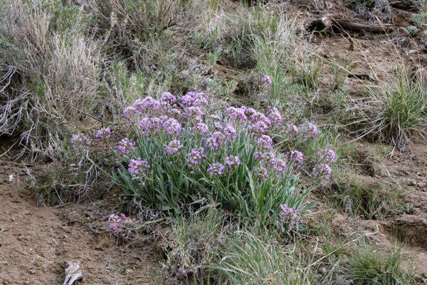 Daggerpod (Phoenicaulis cheiranthoides) in bloom. April 6, 2015.