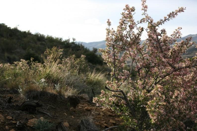 Desert Peach.