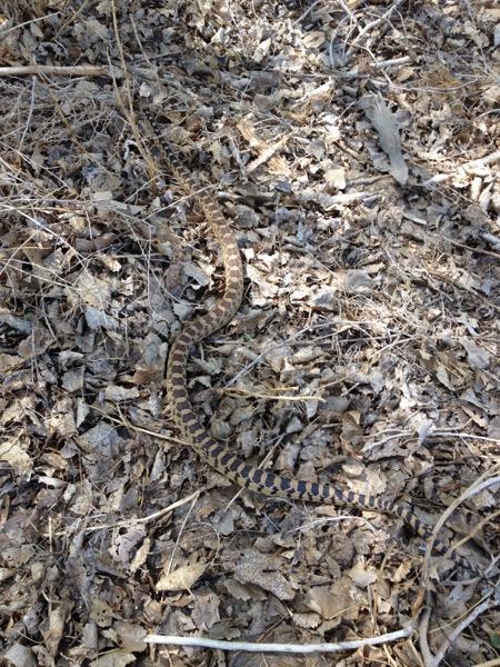 Gopher snake, McCarran Ranch. April 21, 2015. Photo: Jennifer Robinson.