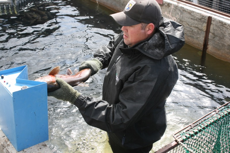 David Miller, USFWS biologist, scans the nose of a Lahontan cutthroat trout to see if it has been tagged. April 13, 2015.