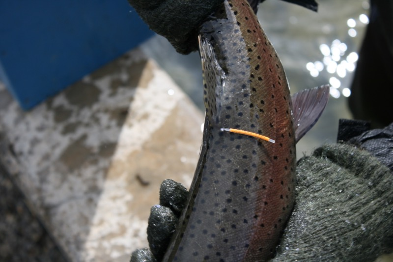 A numbered tag on the back of a Lahontan cutthroat trout helps biologists to identify the fish. April 13, 2015.