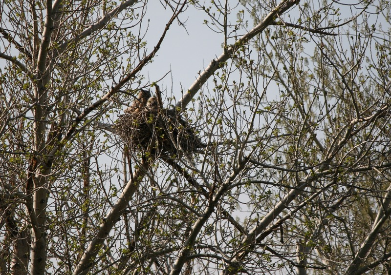Great Horned Owl and owlet, Mayberry Park. April 19, 2015.