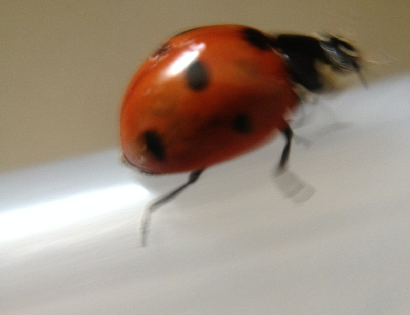 A fast-moving ladybug, Coccinella septempunctata (I think).