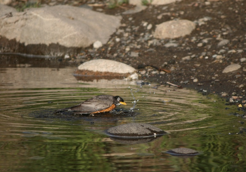 An American robin bathes in the Truckee in Mayberry Park, June 4, 2015.
