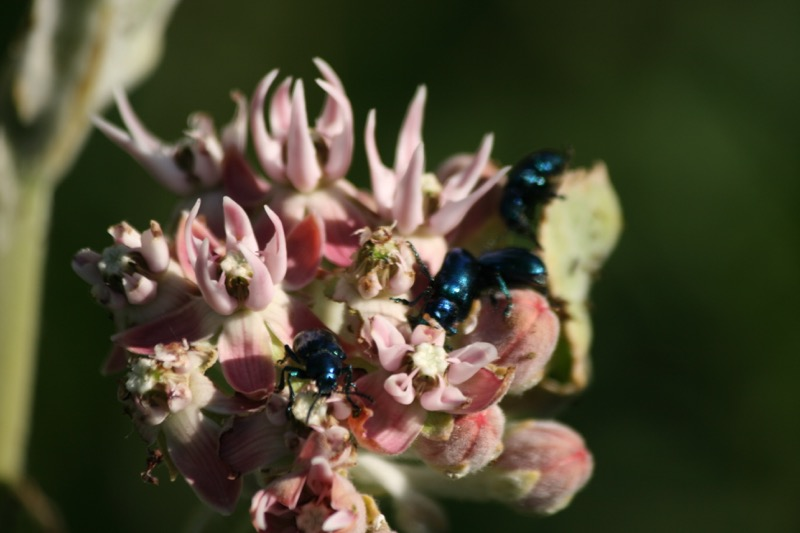 Showy milkweed (Asclepias Speciosa) is beginning to bloom along the Truckee, a favorite of many bugs. June 4, 2015.