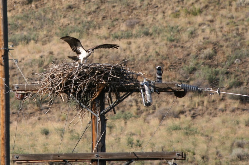 Osprey on a nest near the Truckee River, West 4th Street, Reno. July 21, 2015.