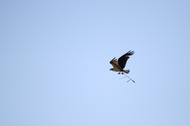 In Crystal Peak Park, an Osprey flies off with a stick. July 28, 2015.