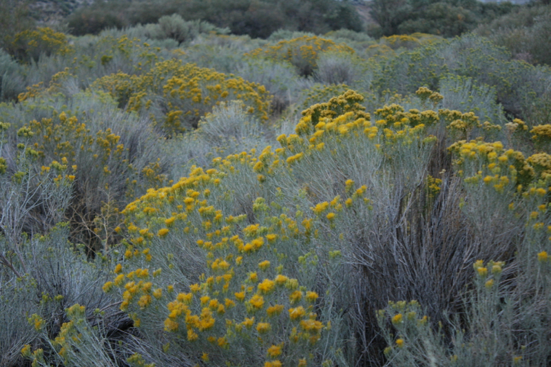 Blooming rabbitbrush, Dorostkar Park. Sept 12, 2015.