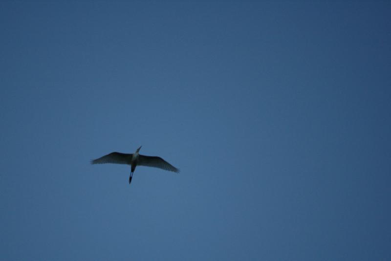 Great Blue Heron flyover, Lockwood Park. 18 Sept, 2015.