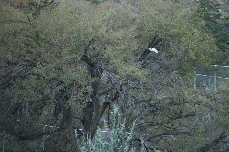 Great Egret, Lockwood Park. 18 Sept, 2015.