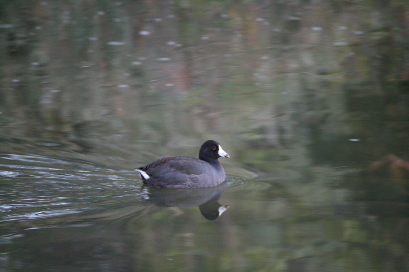 American Coot, Truckee River. Oct 9, 2015.