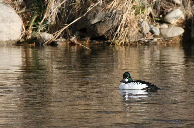 Male Common Goldeneye, Idlewild Park. Dec 13, 2015.