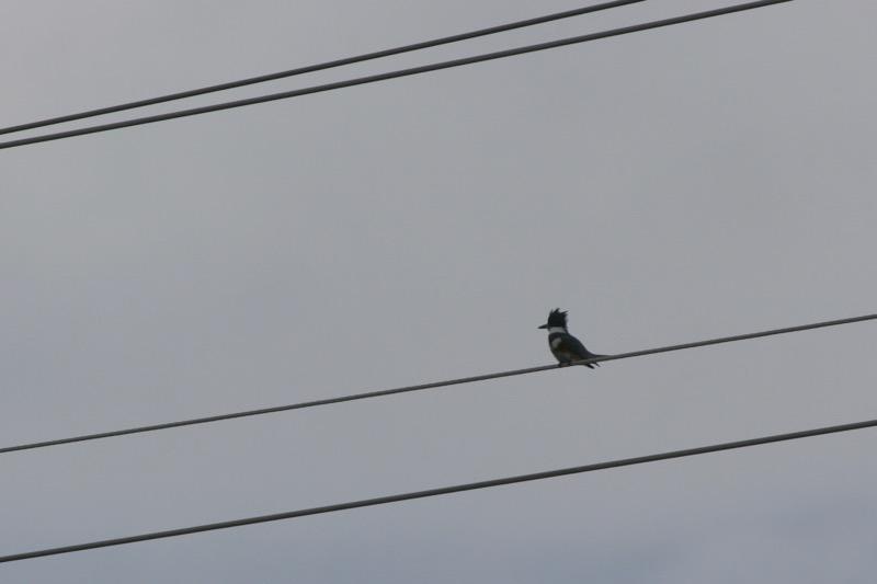 Belted Kingfisher, Idlewild Park. Dec 13, 2015.