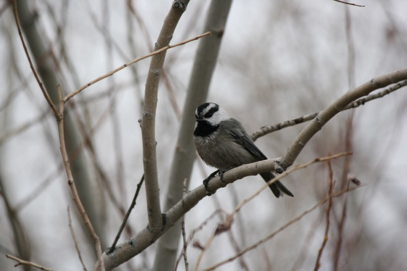 Mountain chickadee, Idlewild Park. Dec 13, 2015.