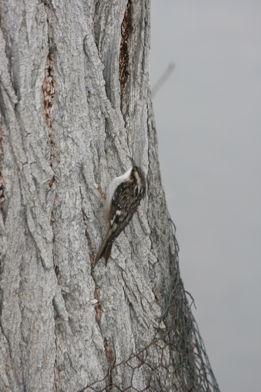 Brown Creeper, Idlewild Park. Dec 13, 2015.