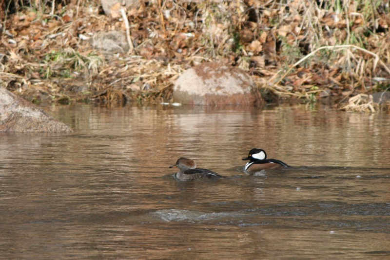A pair of Hooded Mergansers, Idlewild Park. Dec 13, 2015.
