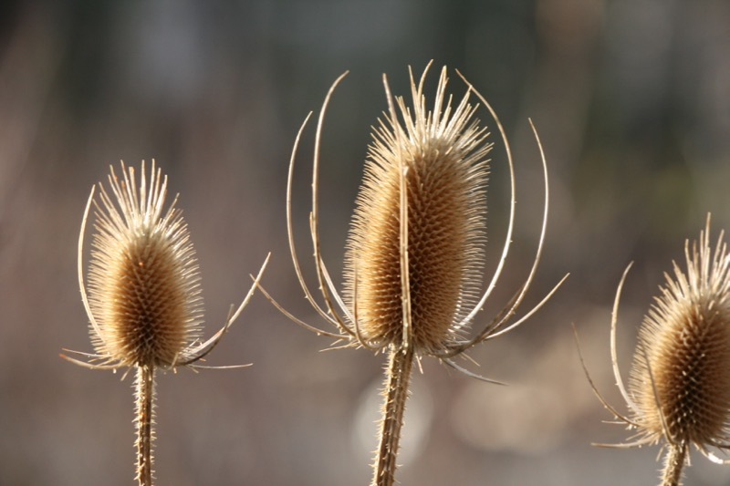 Teasel, Crystal Peak Park. Dec 22, 2015.