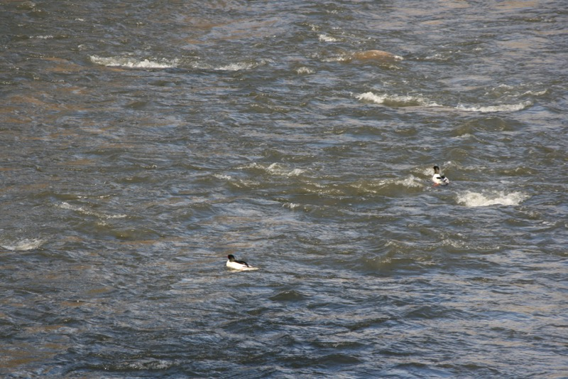 Common mergansers, Truckee River. Dec 22, 2015.