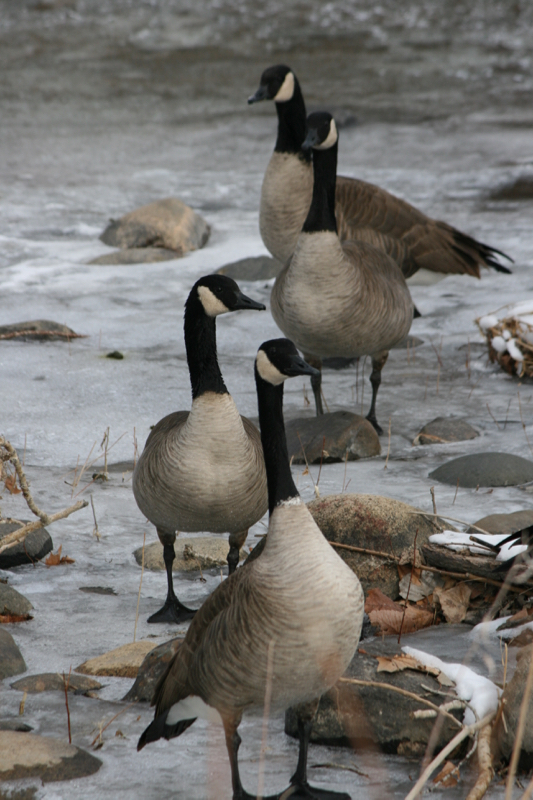 Canada Geese, Idlewild Park. January 2016.