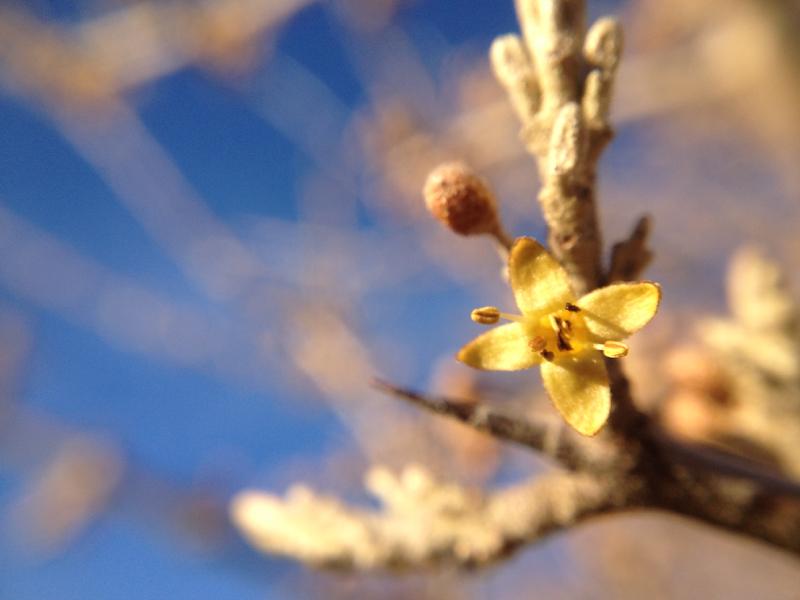 Silver buffaloberry in bloom, Lockwood Park. Feb 22, 2016.