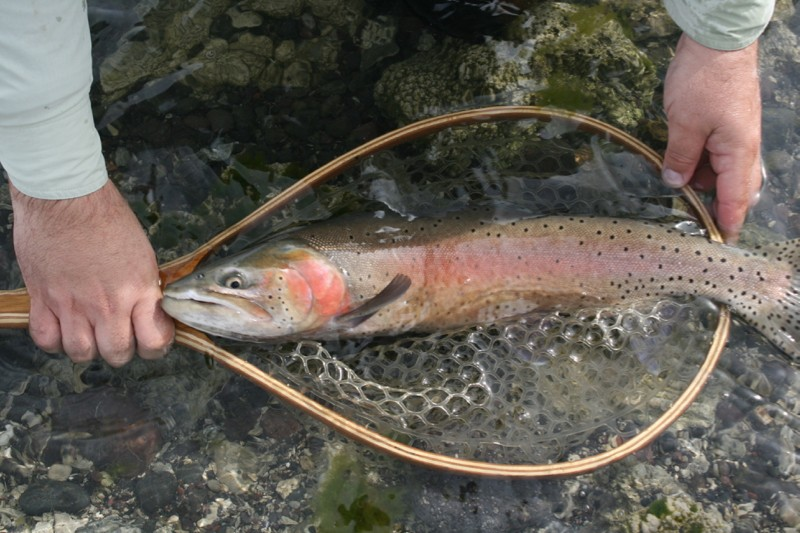 Lahontan cutthroat trout at Pyramid Lake. March 25, 2015.