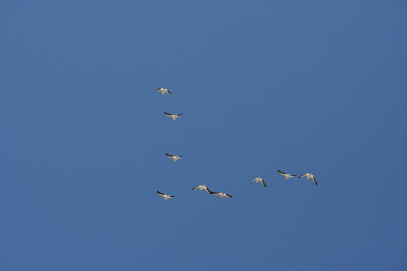 A flock of American white pelicans soars above the Truckee River near Nixon, NV. March 25, 2016.
