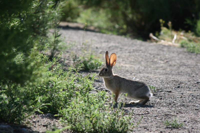 Desert cottontail, Lockwood Park. May 30, 2016.