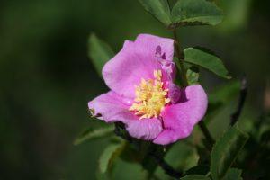 Woods rose blooming in Idlewild Park, May 8, 2016.