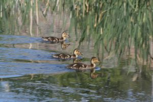 Mallard ducklings on the pond in Oxbow Nature Study Area. May 27, 2016.