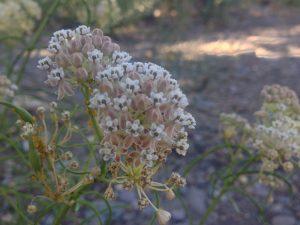 Narrowleaf milkweed, Idlewild Park. July 2016.