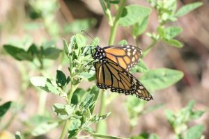 Monarch, Mayberry Park. June 2015.