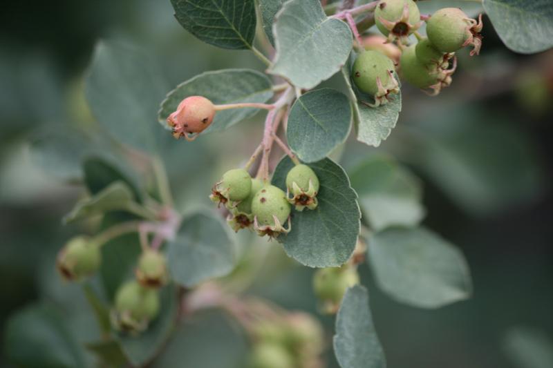 Utah serviceberry, June 2016.