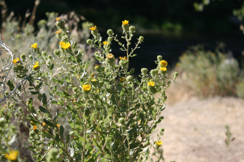 Curlycup gumweed, Mayberry Park. July 2016.